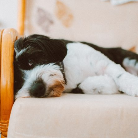 dog-on-chair-in-home