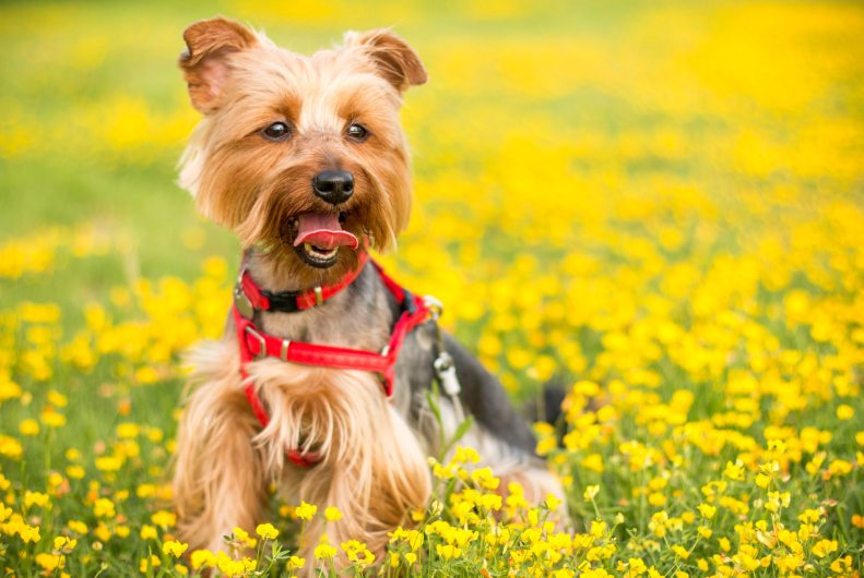 terrier-puppy-in-field-of-flowes
